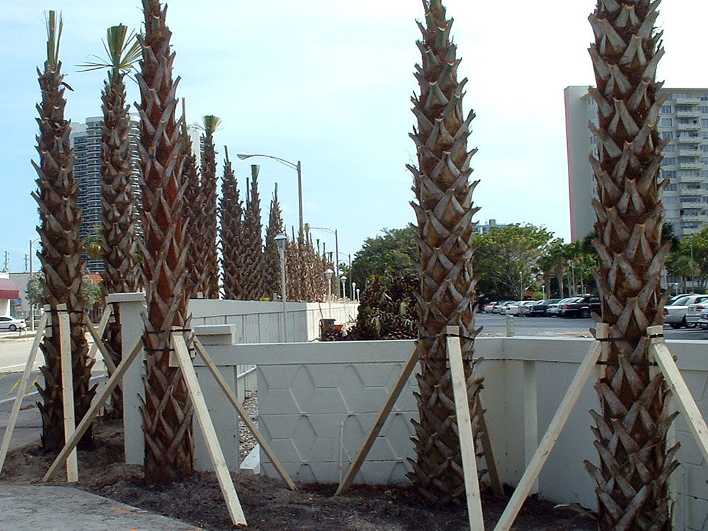 Matteo City Fort Lauderdale A1A Reinforcement stakes Sabal Palms